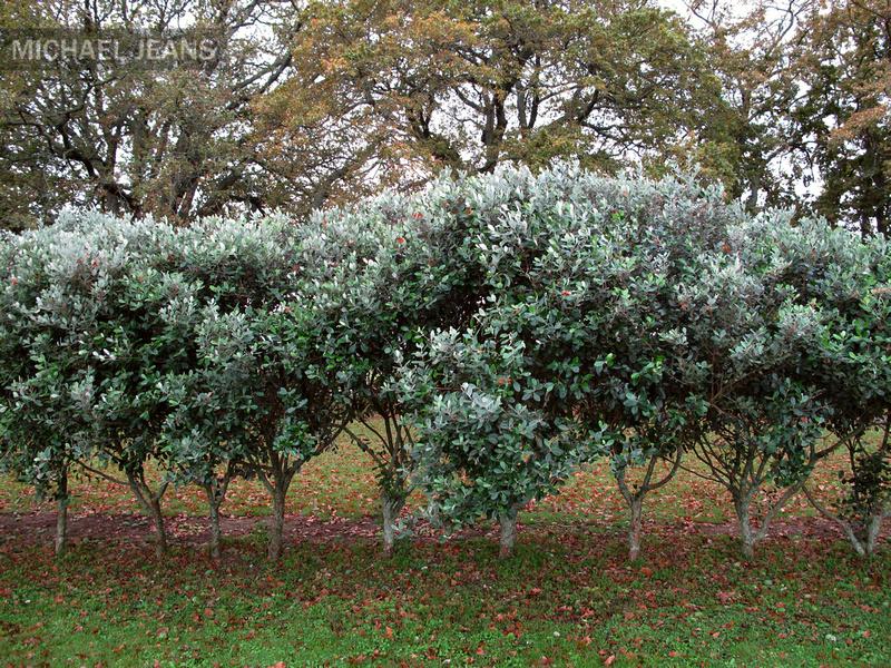 v day photo ideas - Feijoa hedge Cambridge munity Marae 11 May 11