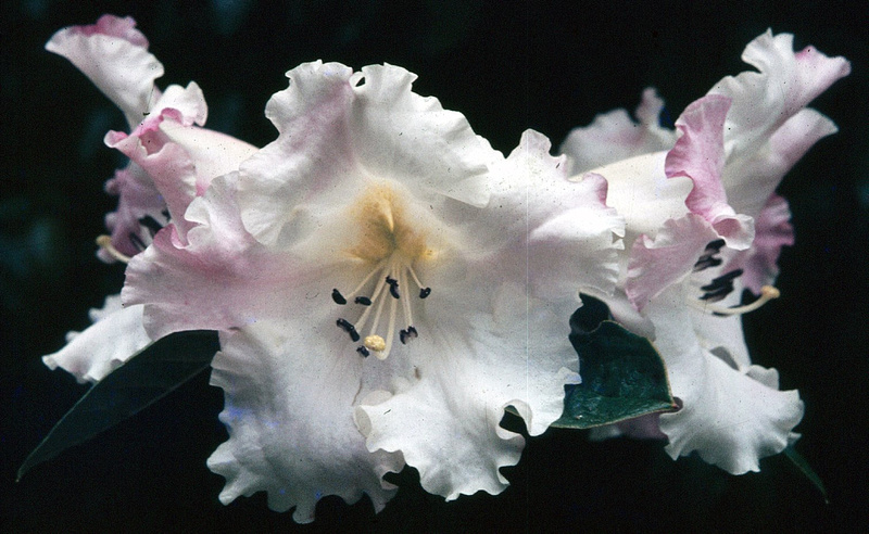 Rhododendron Floral Dance